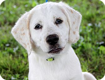 Golden Retriever Mix Puppy for adoption in Pewaukee, Wisconsin - BEAU - no words needed