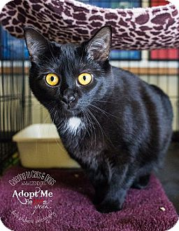 Domestic Shorthair Cat for adoption in Charlotte, North Carolina - A..  Dixie
