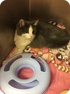Domestic Mediumhair Cat for adoption in Montgomery, Illinois - Nova