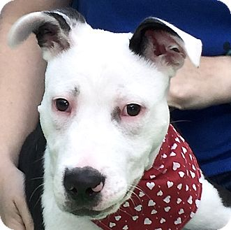 American Staffordshire Terrier Mix Puppy for adoption in Evansville, Indiana - Judah