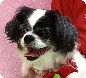 Japanese Chin Mix Dog for adoption in Evansville, Indiana - Coco