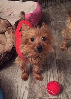 Yorkie, Yorkshire Terrier Dog for adoption in N. Babylon, New York - Willie