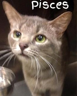 Domestic Shorthair/Domestic Shorthair Mix Cat for adoption in Anderson, Indiana - Pisces