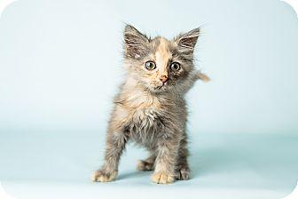 Domestic Mediumhair Kitten for adoption in Hendersonville, North Carolina - Charlotte