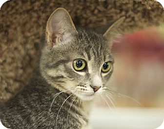 Domestic Shorthair Kitten for adoption in Great Falls, Montana - Billi