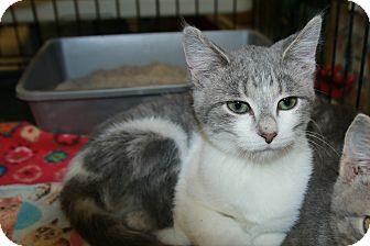 Domestic Shorthair Kitten for adoption in Rochester, Minnesota - Strawberry Shortcake