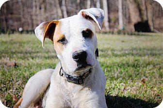 Boxer/Bulldog Mix Puppy for adoption in HARRISBURG, Pennsylvania - HARLEY