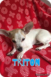 Chihuahua Mix Puppy for adoption in Mesa, Arizona - TRITON 4 MO CHIHUAHUA