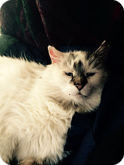 Maine Coon Cat for adoption in Lincoln, Nebraska - Jack