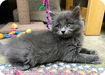 Domestic Mediumhair Kitten for adoption in Seymour, Connecticut - Alice