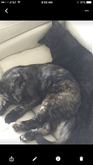 Domestic Mediumhair Cat for adoption in Mission Viejo, California - Sonny and Cher