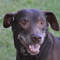 Labrador Retriever Mix Dog for adoption in Englewood, Florida - Cocco