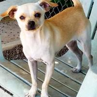 Chihuahua Mix Dog for adoption in Nogales, Arizona - Dash