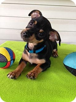 Chihuahua/Dachshund Mix Puppy for adoption in Chattanooga, Tennessee - Coal