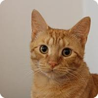 Domestic Shorthair Cat for adoption in Philadelphia, Pennsylvania - Bee