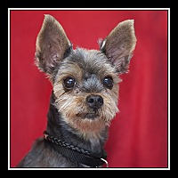 Adopt A Pet :: Nia - San Diego, CA