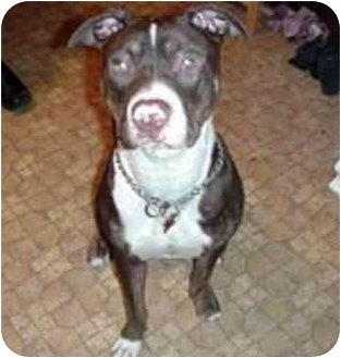 American Pit Bull Terrier Mix Dog for adoption in chicago, Illinois - Chico