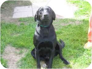 Labrador Retriever Mix Dog for adoption in Northville, Michigan - Ebony