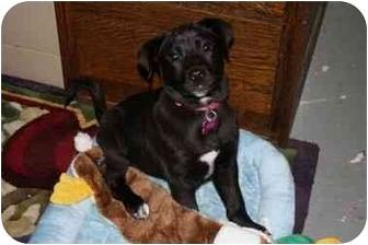 Setter (Unknown Type)/Labrador Retriever Mix Puppy for adoption in Marietta, Georgia - Jansen