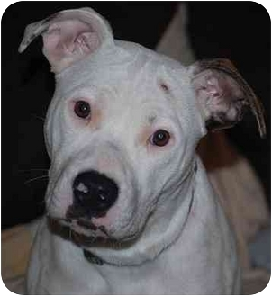American Bulldog/Boxer Mix Dog for adoption in Seattle, Washington - Clancy URGENT FOSTER NEEDED