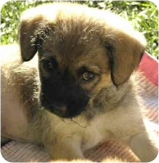 Beagle/Wheaten Terrier Mix Puppy for adoption in La Habra Heights, California - Portia- Shakespearean Sweeties