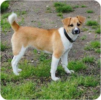 Border Collie Mix Puppy for adoption in New Boston, New Hampshire - Sunshine