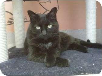 Domestic Shorthair Cat for adoption in San Clemente, California - CHAI