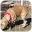Photo 2 - Golden Retriever/Labrador Retriever Mix Dog for adoption in Denver, Colorado - Puppy