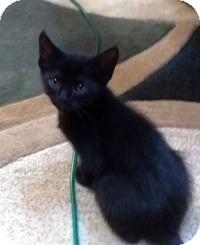 Domestic Shorthair Kitten for adoption in Tampa, Florida - Grisley