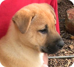 Golden Retriever/Chow Chow Mix Puppy for adoption in Poway, California - Twinky