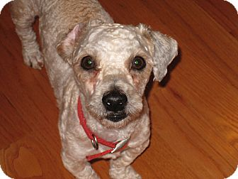 Poodle (Miniature) Mix Dog for adoption in Worcester, Massachusetts - Billy