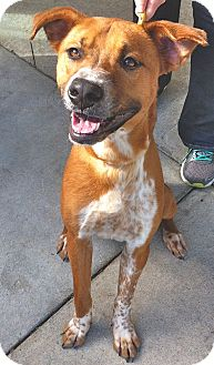 Boxer/Hound (Unknown Type) Mix Dog for adoption in Wilmington, North Carolina - Tanya