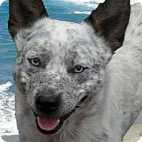 Adopt A Pet :: Marley blue eyes - Sacramento, CA