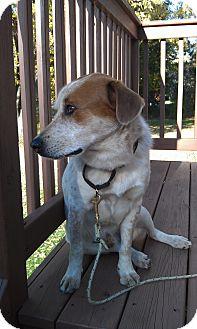 Spaniel (Unknown Type)/Beagle Mix Dog for adoption in St. Charles, Illinois - Texas
