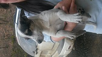 Bull Terrier/Jack Russell Terrier Mix Dog for adoption in Prestonsburg, Kentucky - trigger