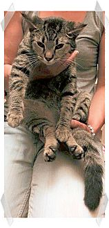 Domestic Shorthair Kitten for adoption in Olmsted Falls, Ohio - TINA