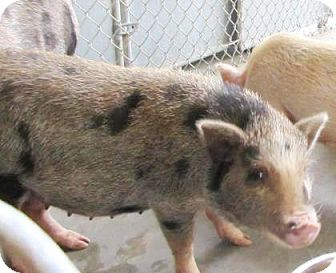 Pig (Potbellied) for adoption in Lincolnton, North Carolina - Pot belly Pigs