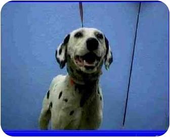 Dalmatian Dog for adoption in Mandeville Canyon, California - Honey