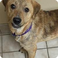 Adopt A Pet :: Olivia - Knoxville, TN