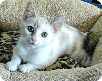 Siamese Kitten for adoption in Davis, California - Cleopatra