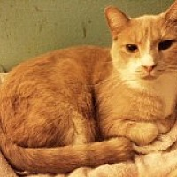 Domestic Shorthair Cat for adoption in Delmont, Pennsylvania - Silas