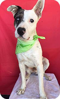 Great Dane Mix Dog for adoption in Irvine, California - PETER