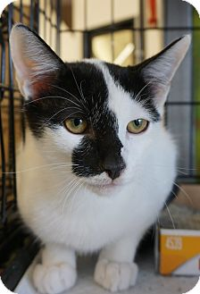 Turkish Van Cat for adoption in Houston, Texas - Dillon