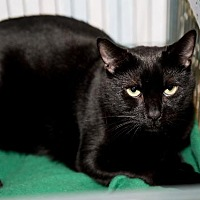 Domestic Shorthair Cat for adoption in Freeport, New York - Tiny