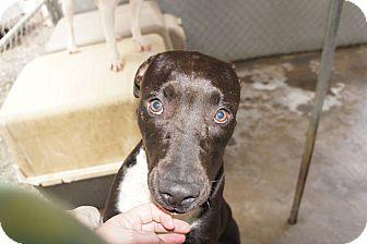 Pit Bull Terrier Mix Dog for adoption in Henderson, North Carolina - Vidia
