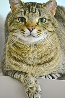 Domestic Shorthair Cat for adoption in Chattanooga, Tennessee - Shiraz