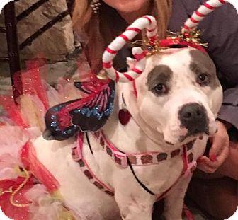 American Bulldog/American Pit Bull Terrier Mix Dog for adoption in ROSENBERG, Texas - Moxie