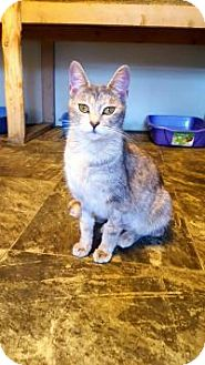 Domestic Shorthair Cat for adoption in Fairmont, West Virginia - Poppers