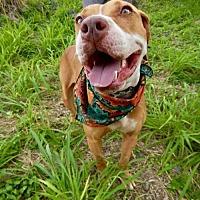 Adopt A Pet :: Ginger - St John, VI