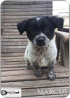 Border Collie Mix Puppy for adoption in DeForest, Wisconsin - Marcus